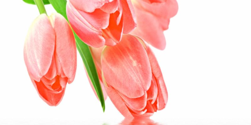 Pink Tulipe Powerpoint Background