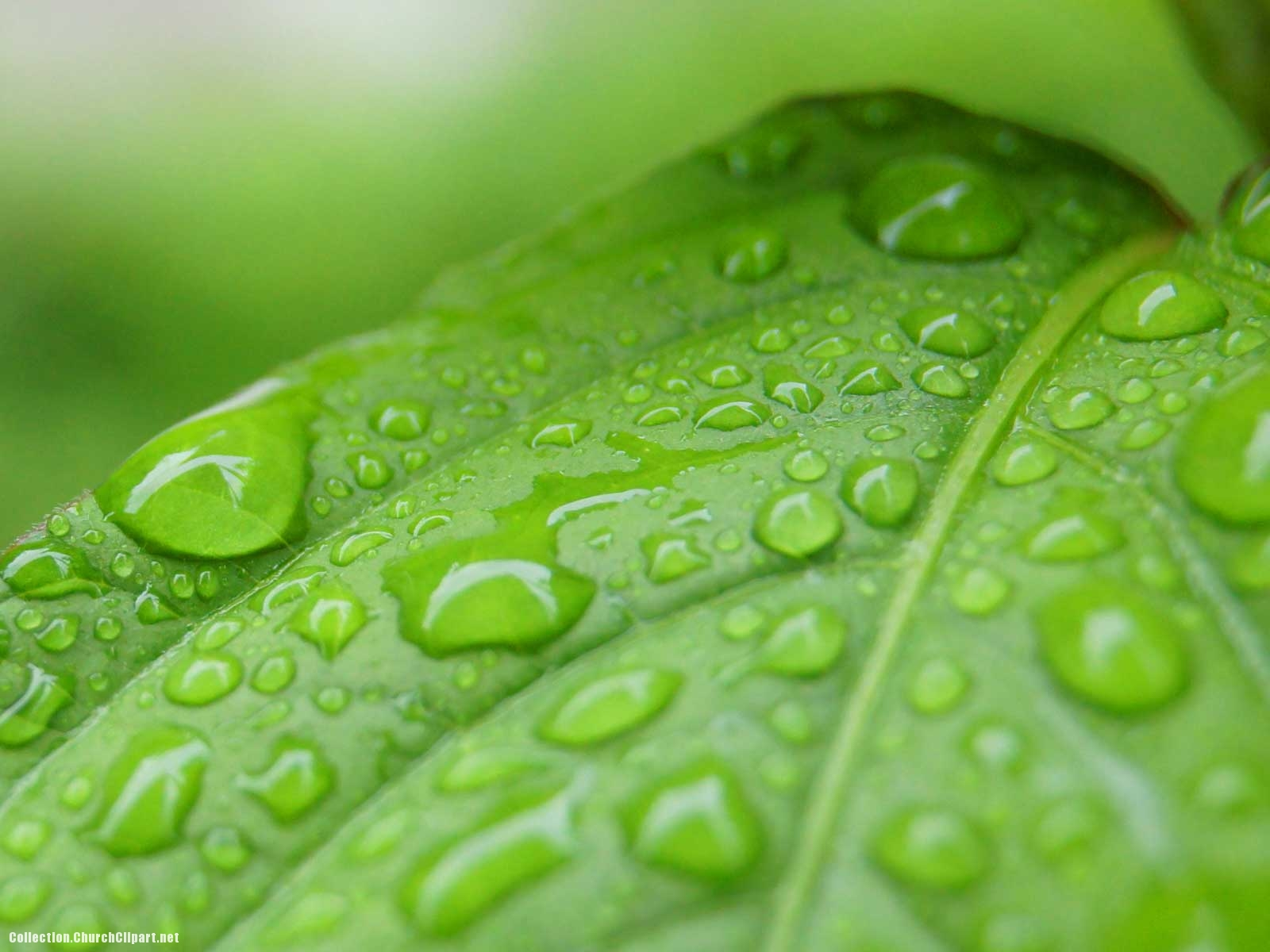 Green Leaves And Rain Drops Background
