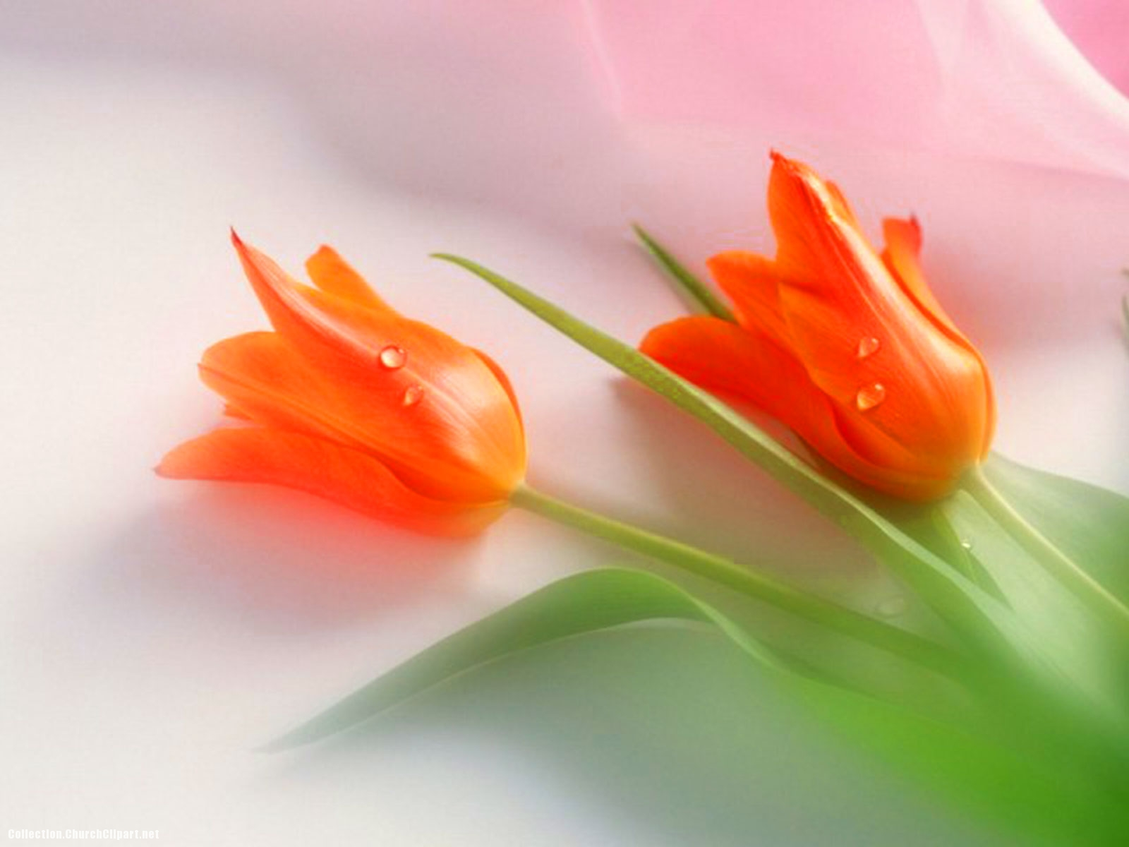 Red Tulipe Background