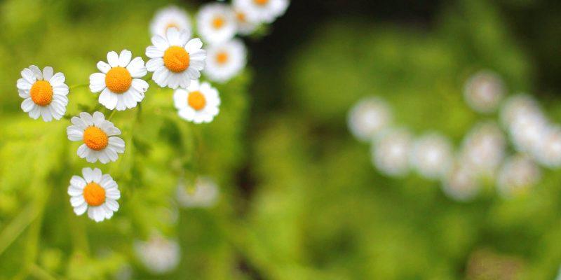 White Flower Green Grass Background