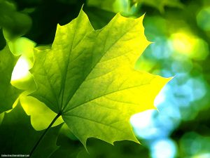 Wide Leaf Powerpoint Background